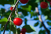 Bunch of cherry on branch on sunny day