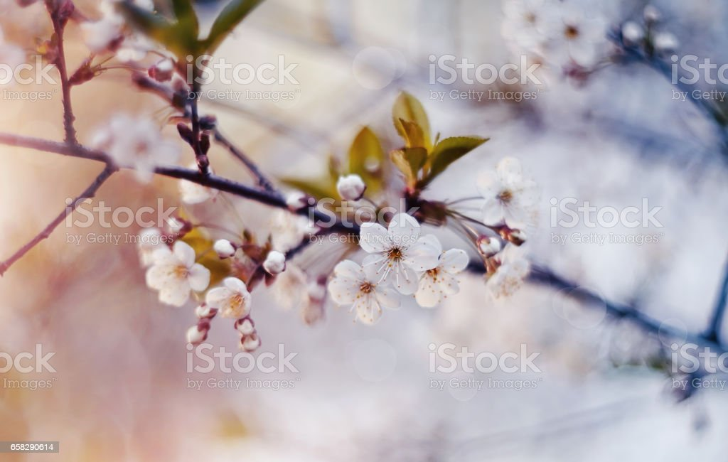 Branch with flowers of a cherry tree stock photo