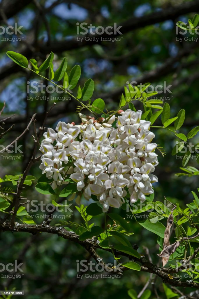Branch with fresh bloom  of acacia-tree or common locust flower in park royalty-free stock photo