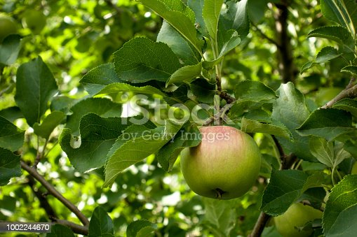 Branch with green apple with red side in the garden