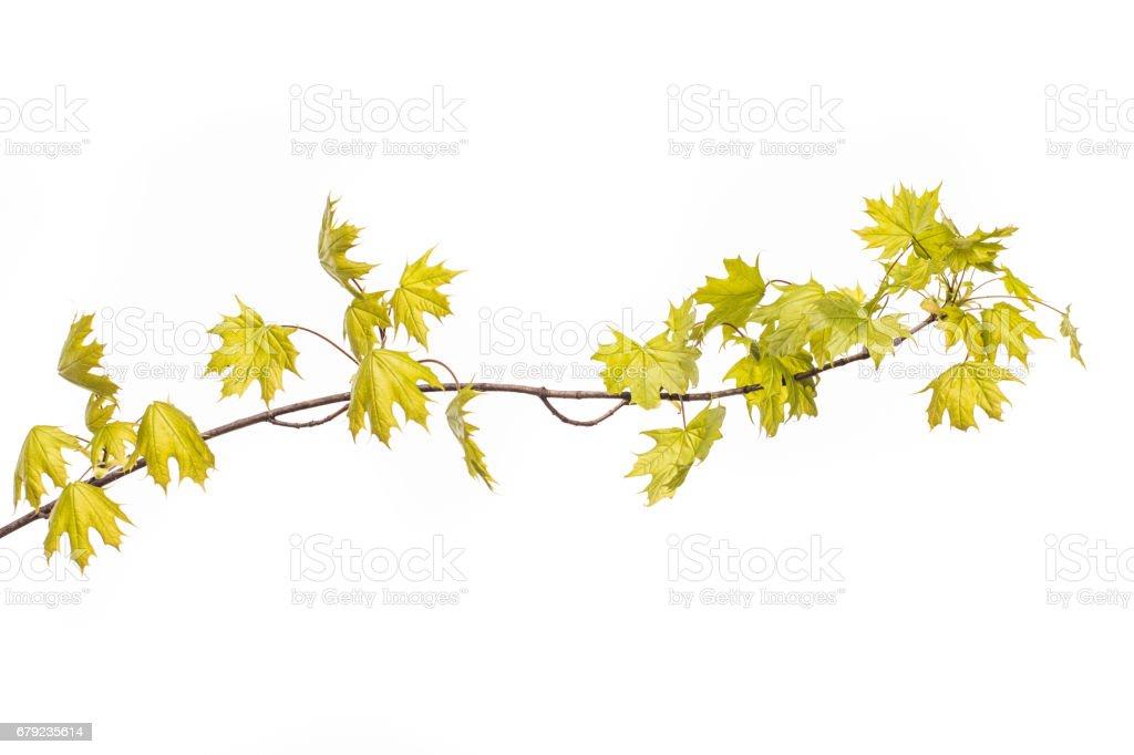 Branche avec vert frais des feuilles de l'érable, isolé sur fond blanc. photo libre de droits