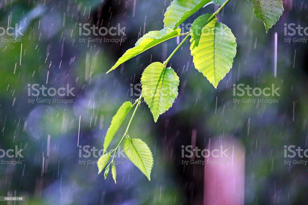 branch with green leaves in the rain royaltyfri bildbanksbilder