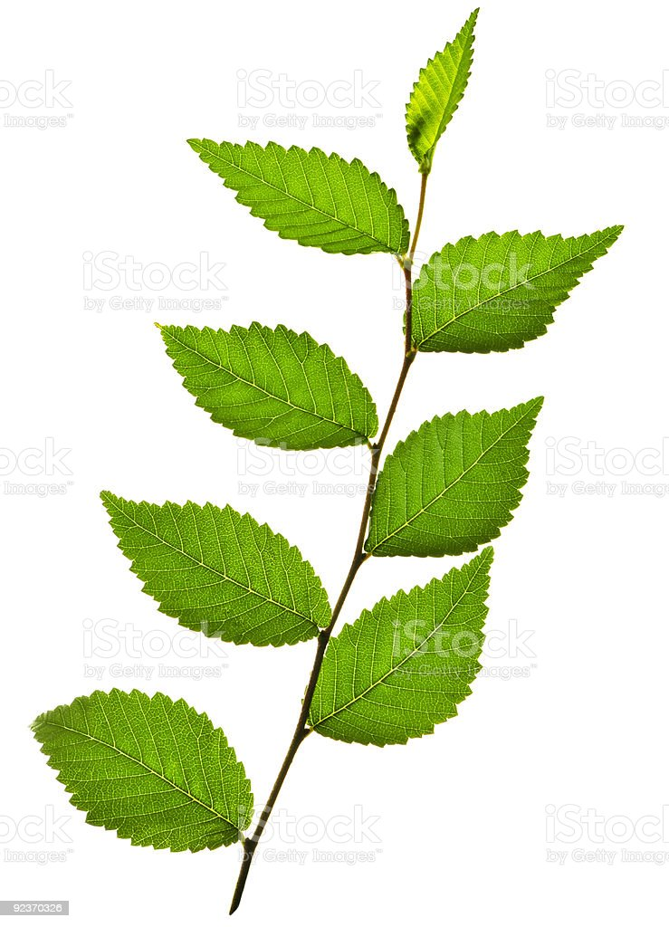 Branch with green leaves royalty-free stock photo