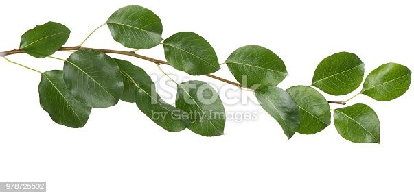 Green leaves of tree of pear isolated on white background. Close-up.