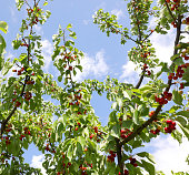 Branch with leaves and many red ripe  cherries of a cherry tree