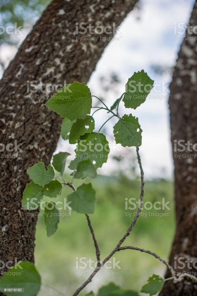 Branch with leaves of aspen (Populus tremula). Selective focus. stock photo