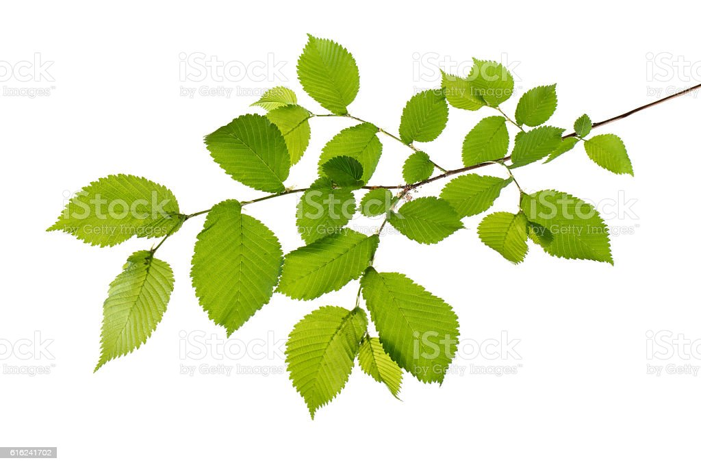 branch with leaves (beech isolated) stock photo
