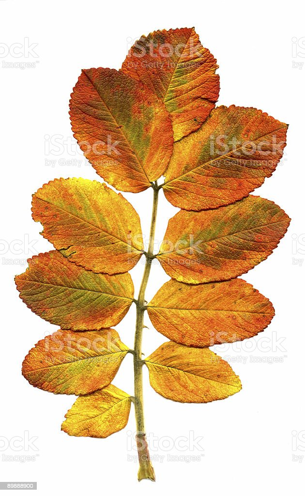 Branch with leaves royalty-free stock photo