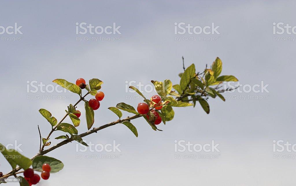 Branche avec peu Rosehips rouge photo libre de droits