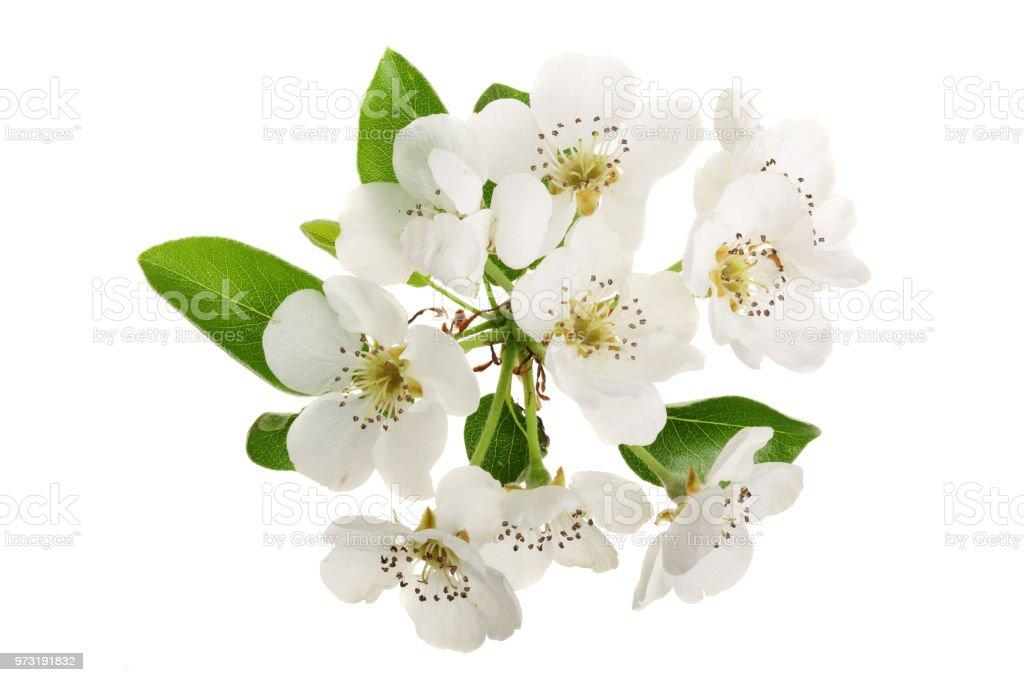 Crée une branche avec des fleurs de poiriers isolé sur fond blanc. Vue de dessus. Poser de plat - Photo