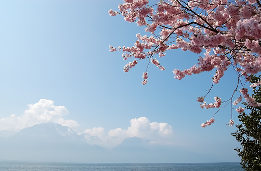 A branch with pink flowers of a cherry tree against a blue sky, the Alps and Lake Geneva.