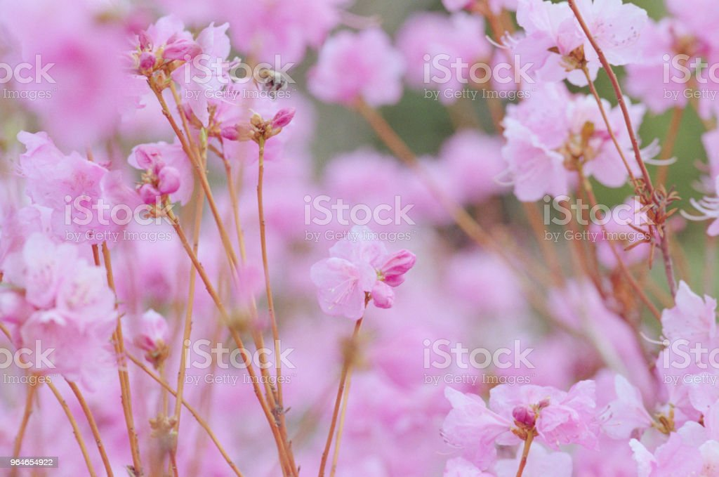 Branch with pink rhododendron flowers close-up photo. . Shot on film royalty-free stock photo