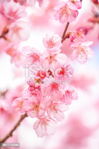 istock Branch with pink sakura blossoms and blue sky background 667774090