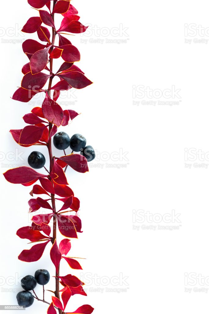 Branch with red autumn leaves  and black berries stock photo
