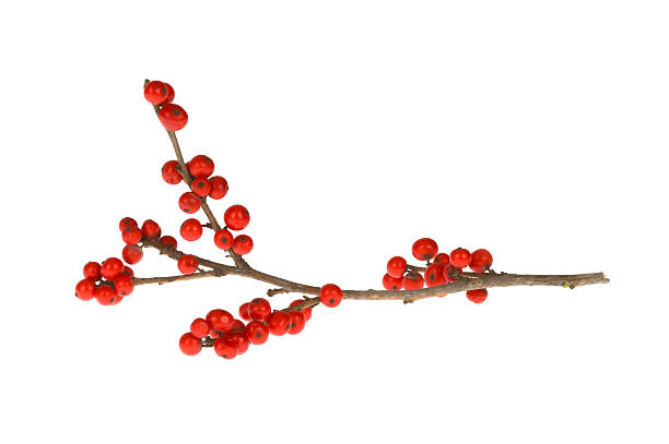 branch with red berries - berry stock photos and pictures