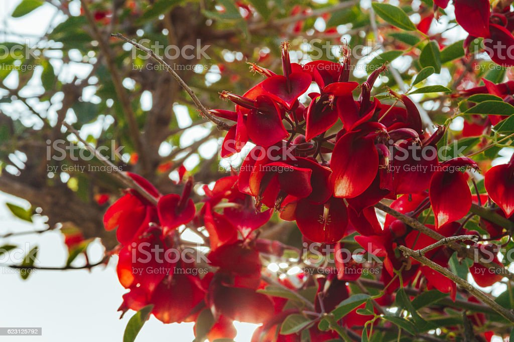 Branch with red ceibo flowers with sunlight background stock photo