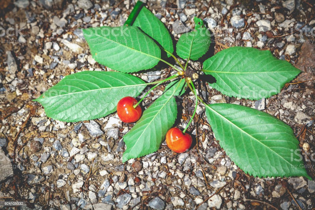 branch with red cherry fruits lies on stony ground stock photo