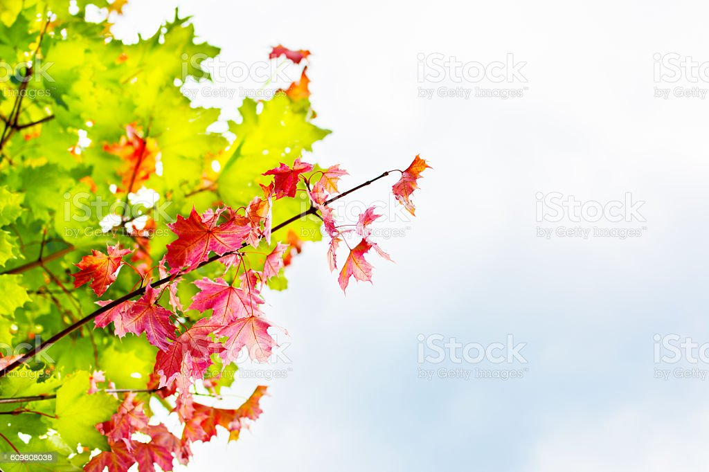 Branch with red maple leaves on autumn sky background copyspace stock photo