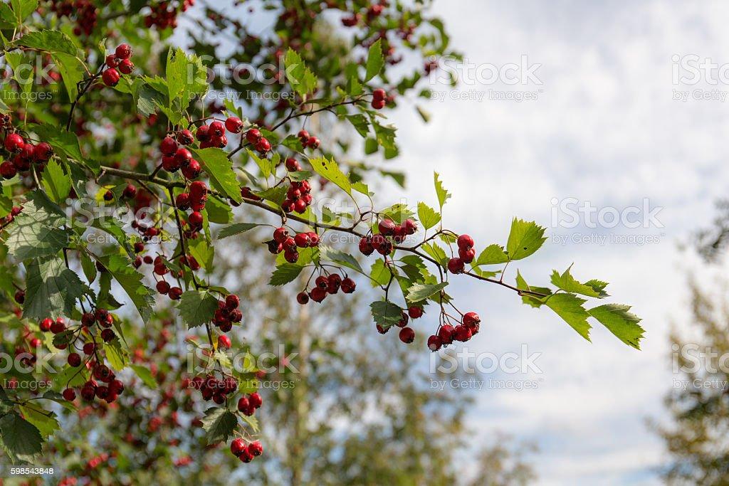 branch with ripe berries photo libre de droits