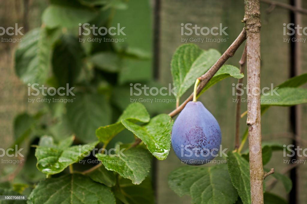 Branch with ripe blue plum stock photo