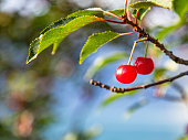 Branch with ripe red cherries.