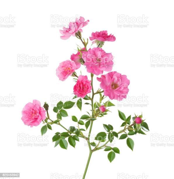 Branch with small pink roses isolated on white picture id825453942?b=1&k=6&m=825453942&s=612x612&h=xalqbuj4p6yxdcoxlmqqw8azb5rpxcdwlannkdc xai=