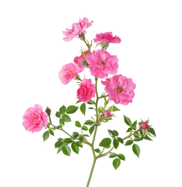 Branch with small  pink roses isolated on white. stock photo