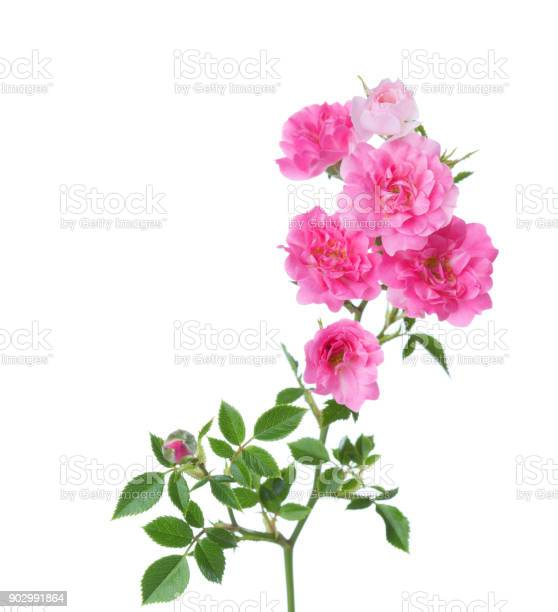 Branch with small pink roses isolated on white selective focus picture id902991864?b=1&k=6&m=902991864&s=612x612&h=z3btmfirl x c y3aajdmxyabfhijht346wrist7tpe=