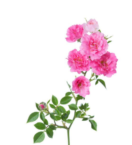 branch with small  pink roses isolated on white.  selective focus stock photo