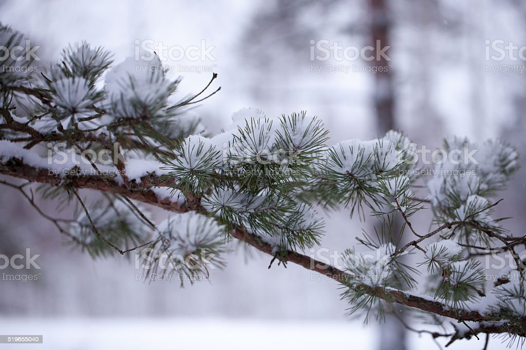 Branch with snow stock photo