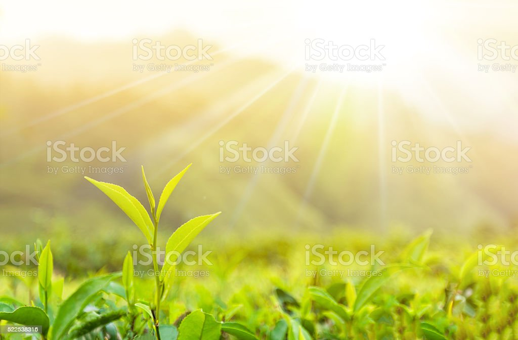 branch with tea leaves on sunny background stock photo