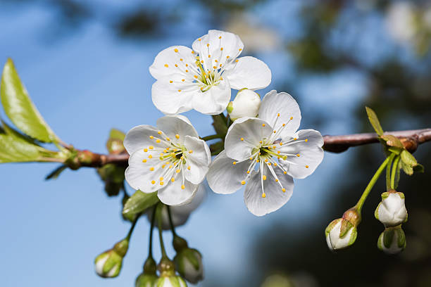 Branch with three white flowers of cherries close-up stock photo