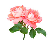 istock Branch with two pink and peach roses 1009691506
