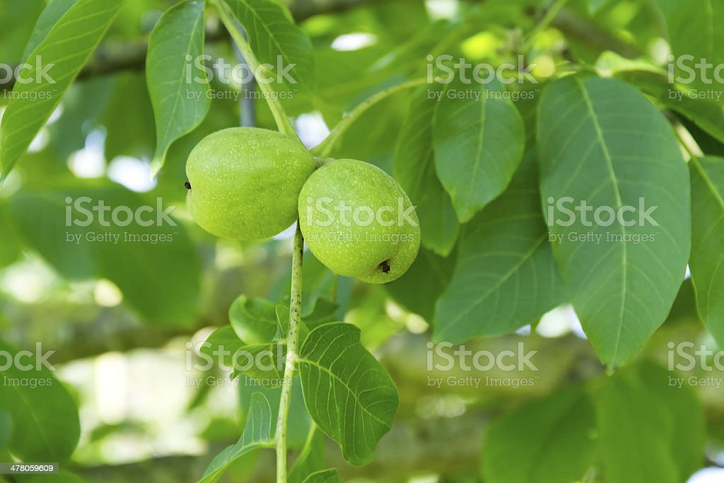 Branch with two walnuts stock photo