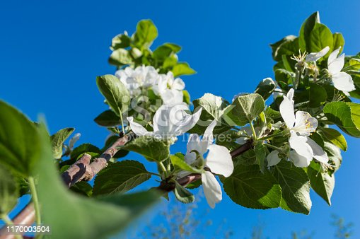 Branch with white flowers Apple trees against the blue sky.