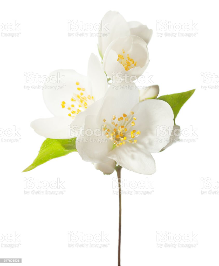 Branch with white flowers isolated on white. stock photo