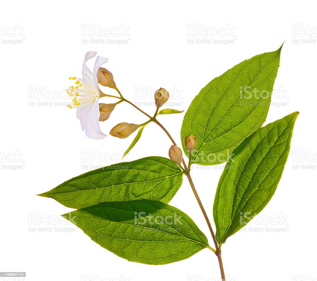 branch with white jasmin flower royalty-free stock photo