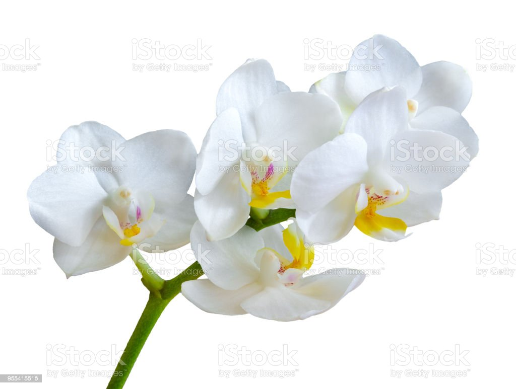 Branch With White Orchid Flowers Isolated On White Background Stock