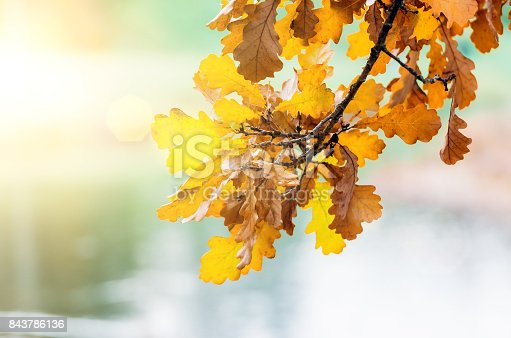 istock Branch with yellow autumn leaves hanging at sunset light glare 843786136