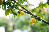 Branch With Leaves And Yellow Plums Closeup