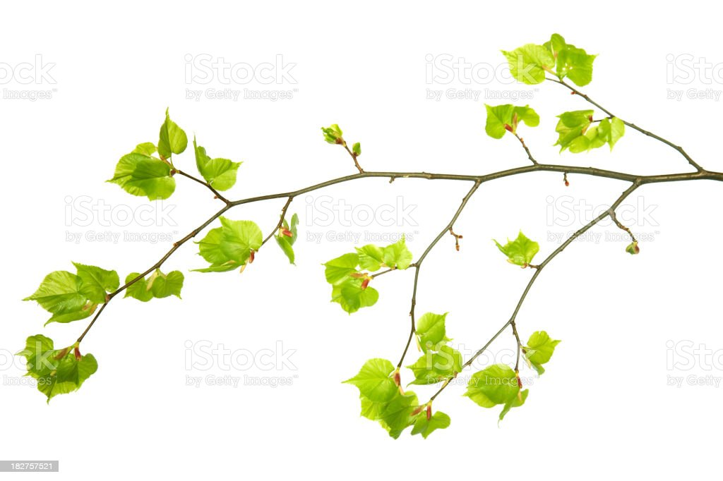 A branch with young green leaves on a white background stock photo