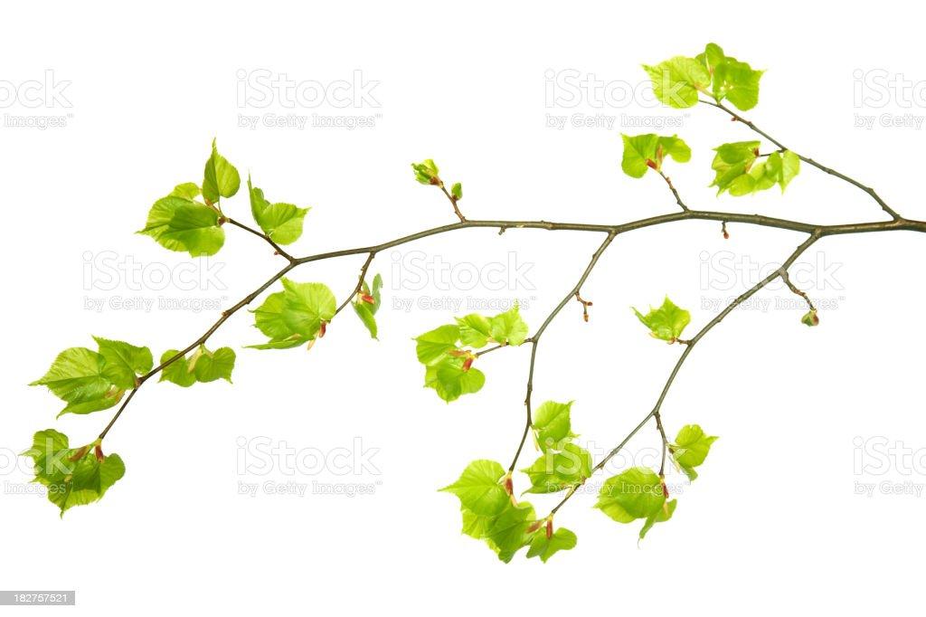 Branche avec de jeunes feuilles. - Photo