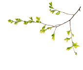 istock Branch with young green spring leaves isolated on white background.  Spiraea vanhouttei. 1202196520