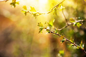 branch with young leaves. spring time