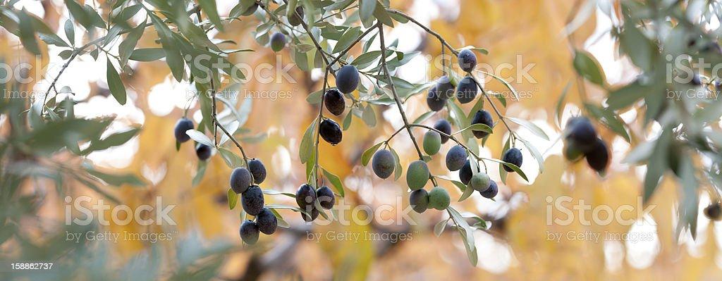 branche d'olivier lumière d'automne royalty-free stock photo