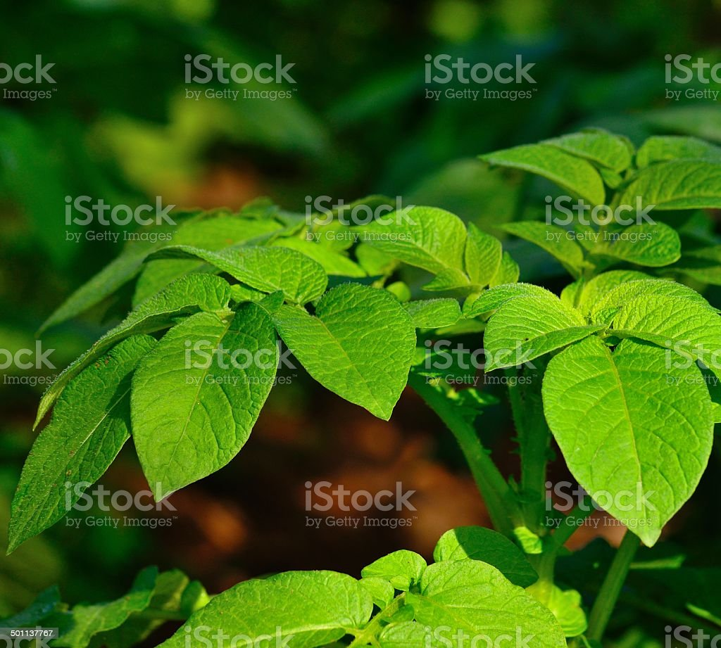 Branches and green leaves of potato plant stock photo