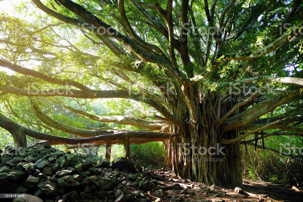 Branches and hanging roots of giant banyan tree growing on famous Pipiwai trail on Maui, Hawaii stock photo