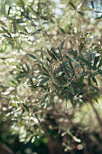Branches and leaves of an olive tree in an olive grove in Montenegro.