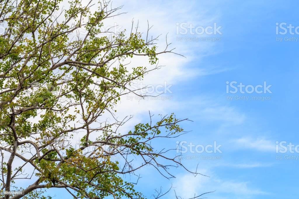 Branches and leaves of Bodhi Tree against a clouds and blue sky. stock photo