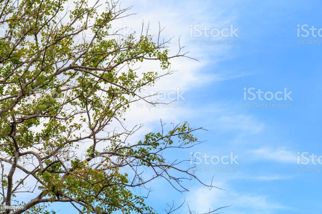 Ramas y hojas del árbol de Bodhi contra una nubes y cielo azul. - foto de stock